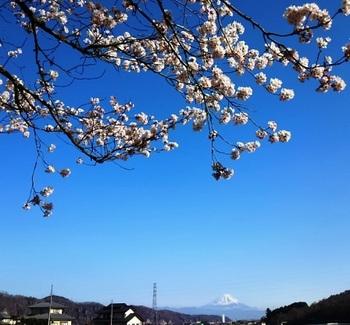 神代桜1.JPG