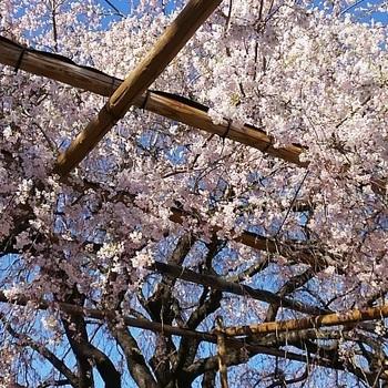 神代桜4.JPG