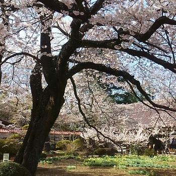 神代桜5.JPG