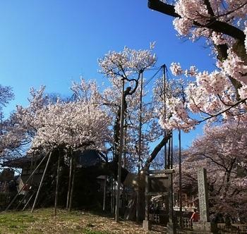 神代桜6.JPG