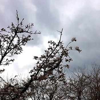 神代桜8.JPG