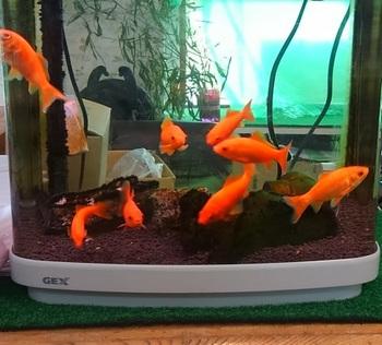 0705金魚.JPG